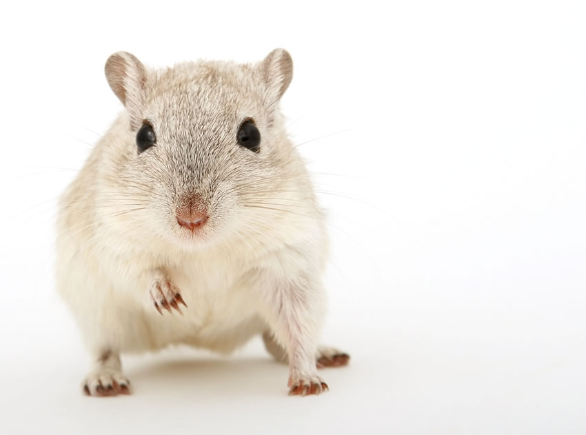 gerbils are rodents