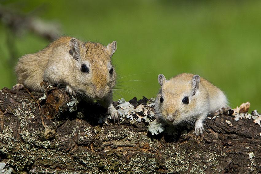gerbils in pairs