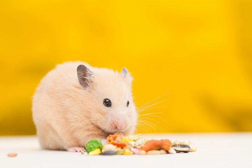 Hamster Health Check | Hamster Health Care | Hamsters