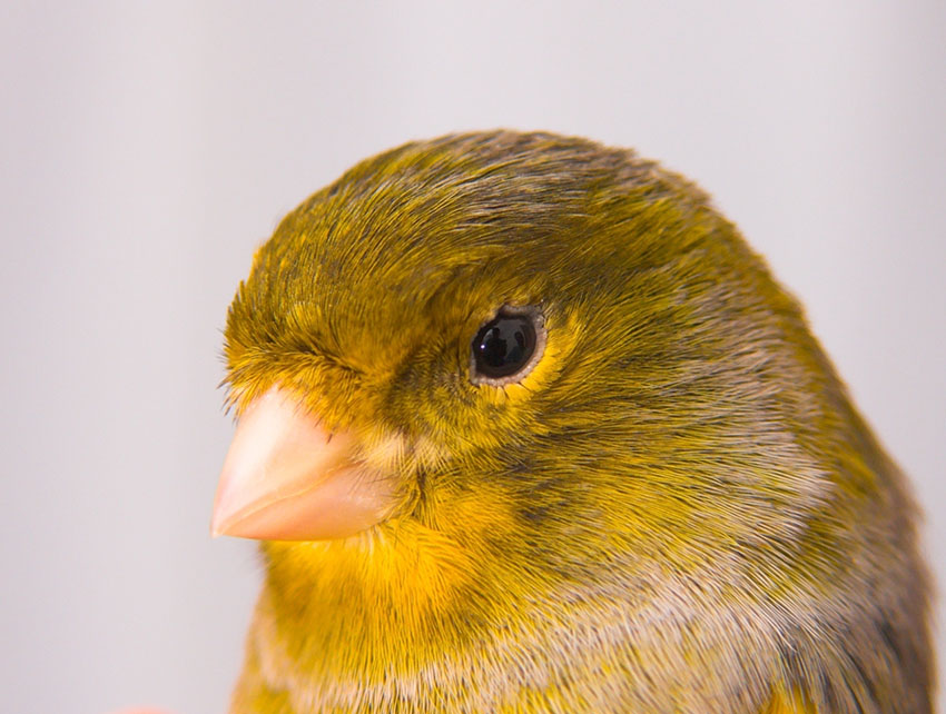 Canary feathers need preparing for shows
