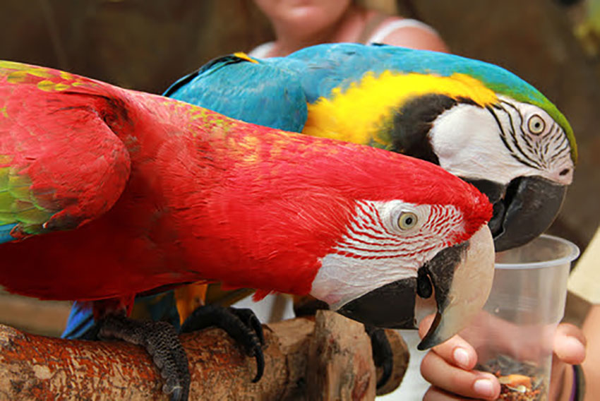 Green-Winged and Blue and Gold Macaws