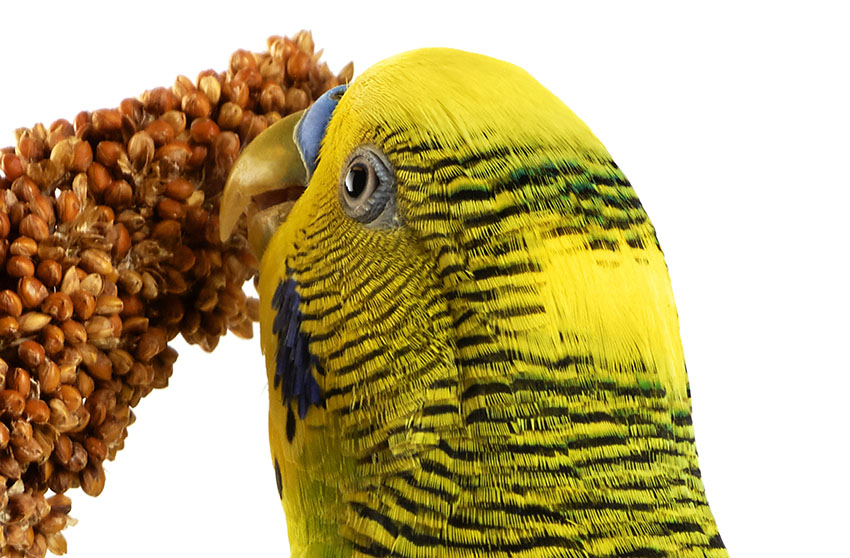 green parakeet eating millet