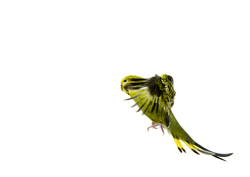 green budgie flying