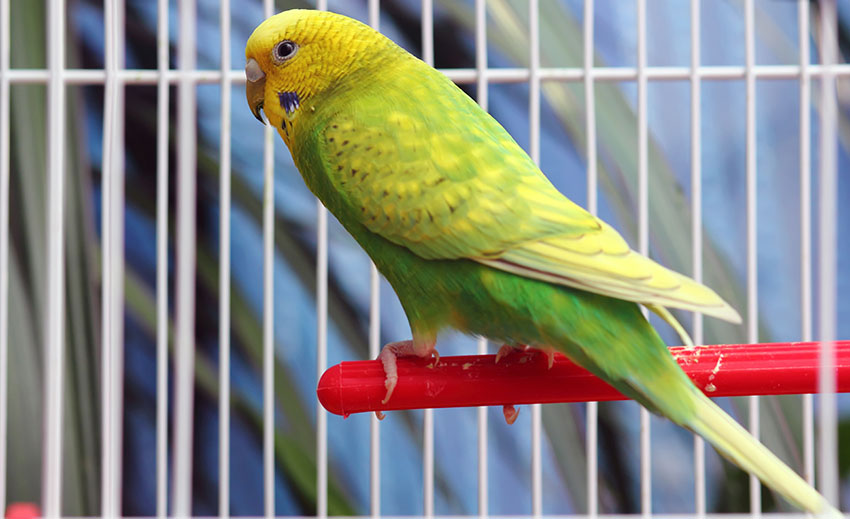A light green budgie in a cage