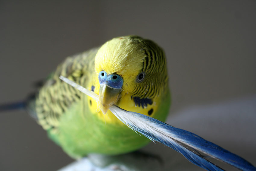 green_male_budgie_holding_feather