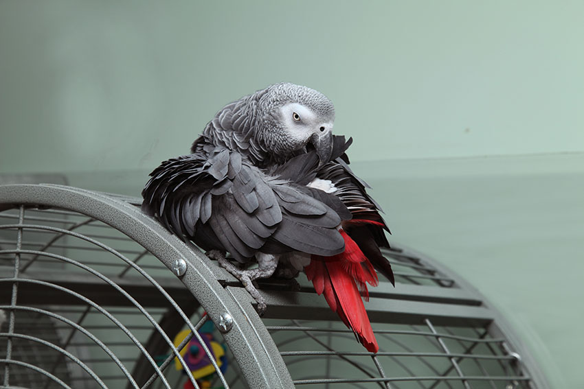 Grey Parrot on cage