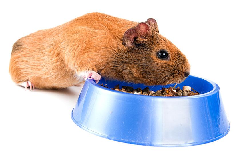 guinea pig dry foods vary
