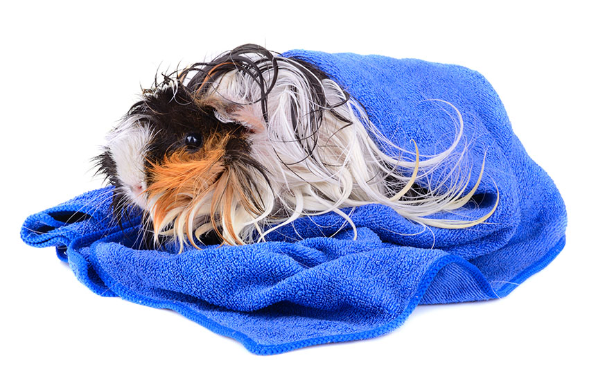 guinea pig enjoying a towel