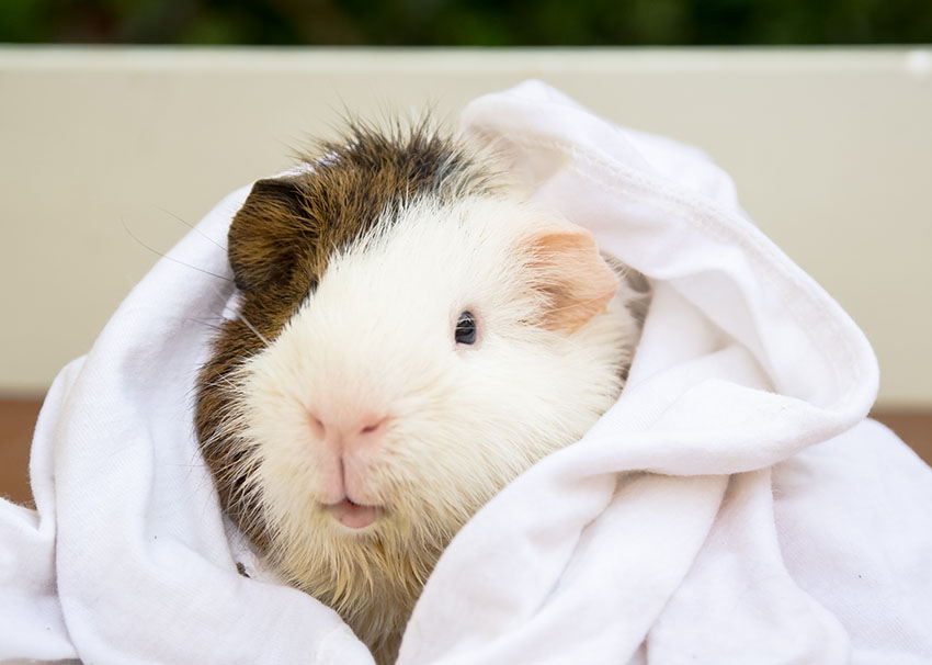 guinea pig enjoying her monthly bath