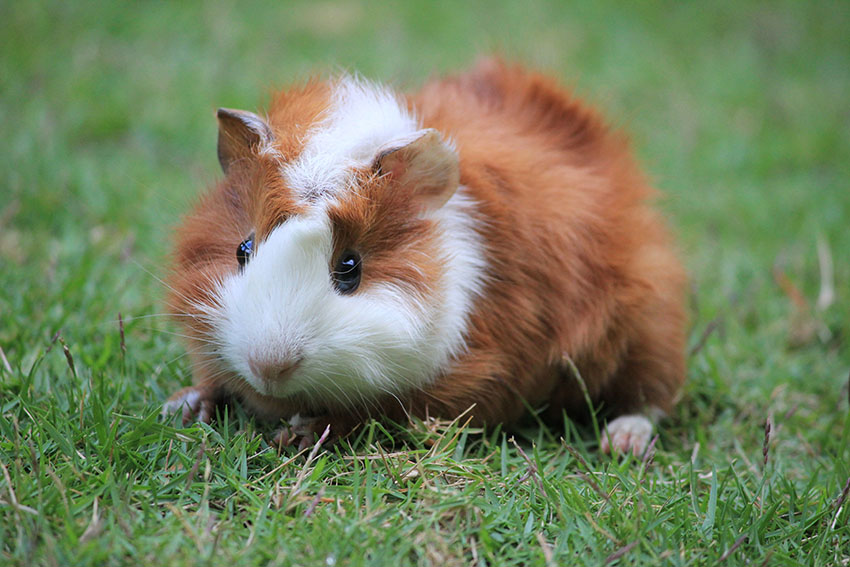 guinea pig enjoying the lawn