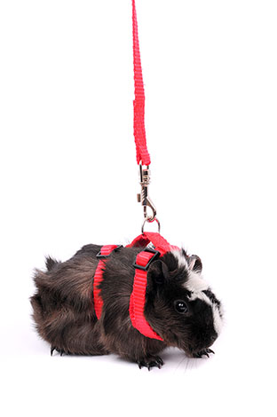 guinea pig going walkabout