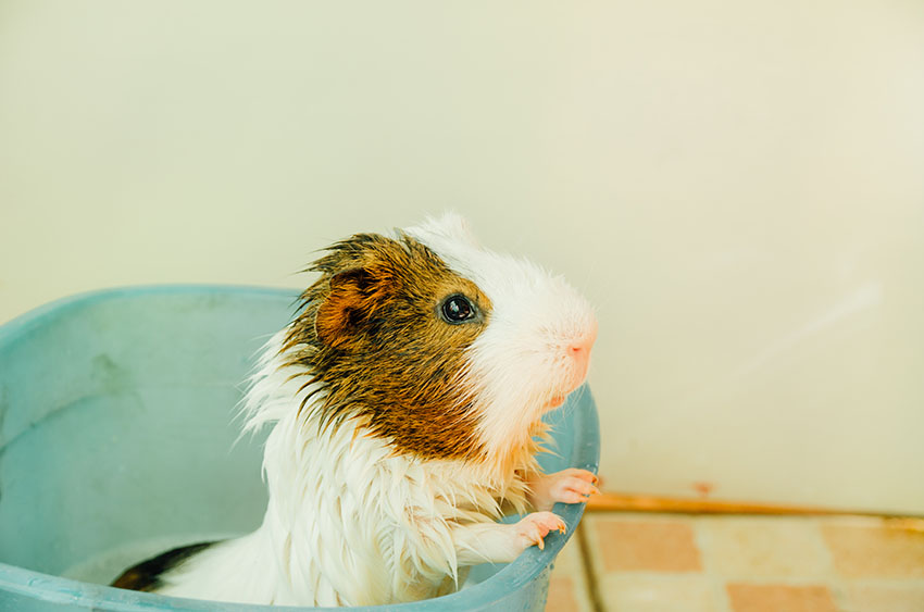 guinea pig having a bath