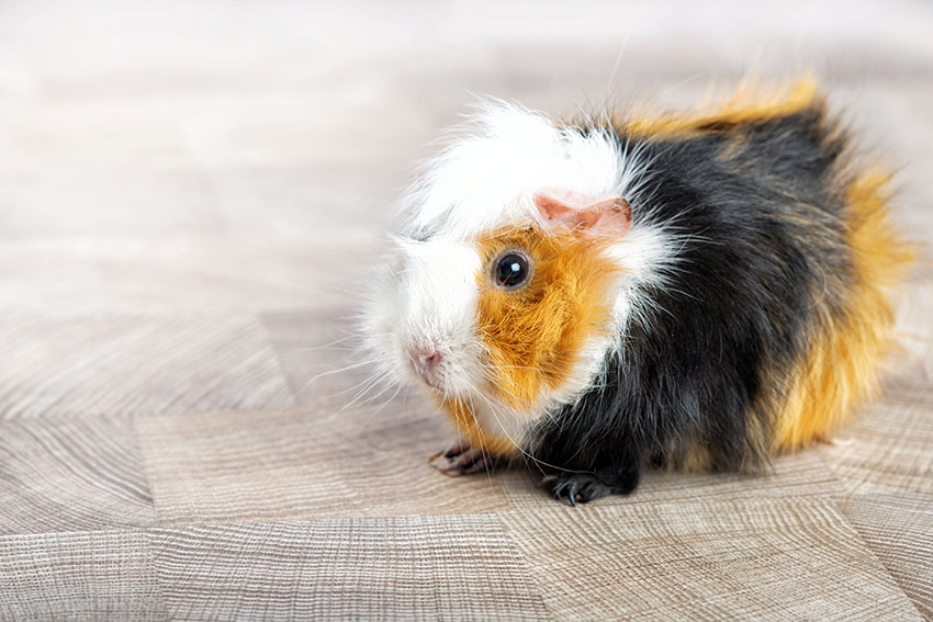 guinea pig running around