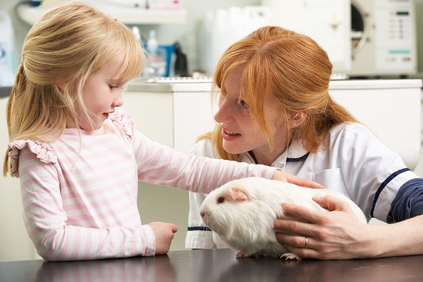 guinea pig seeing a vet