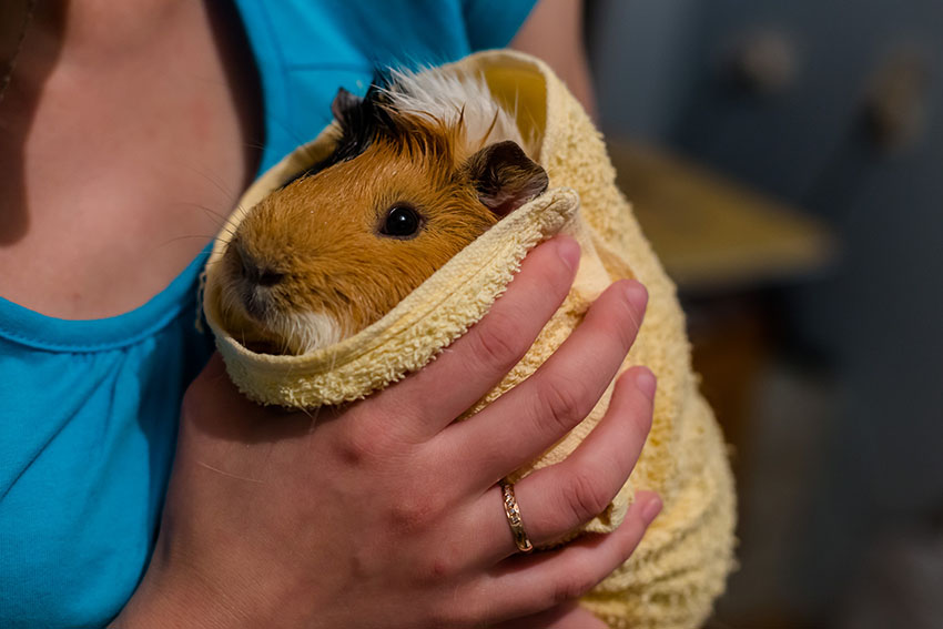 guinea pig shivering