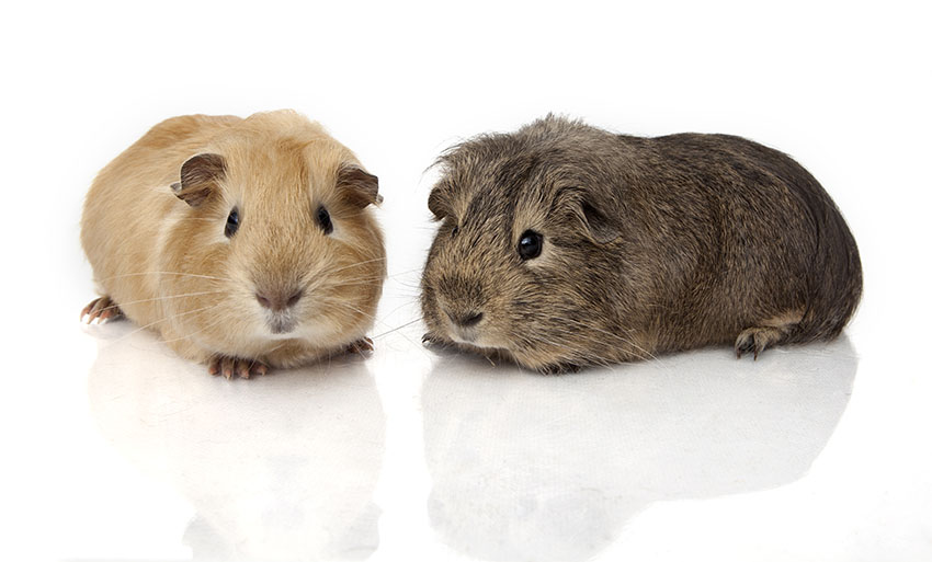 guinea pig weights vary