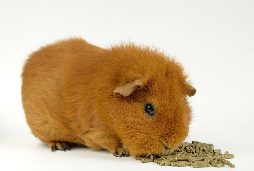 guinea pigs are delicate