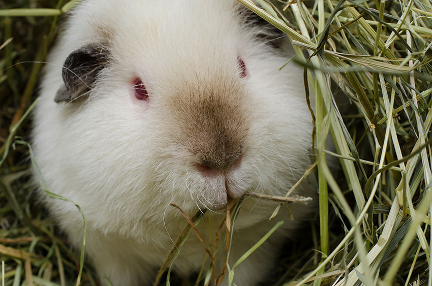 guinea pigs are often eating hay