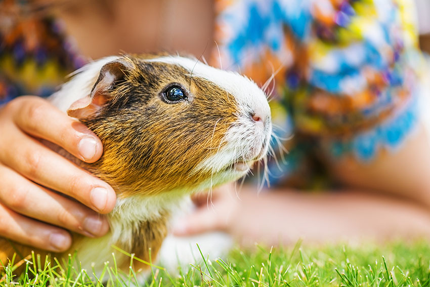 guinea pigs can be trained