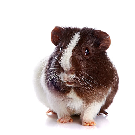 guinea pigs can cause allergic reactions