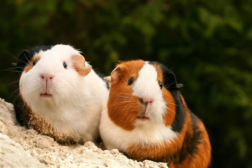 guinea pigs choosing some names for each other