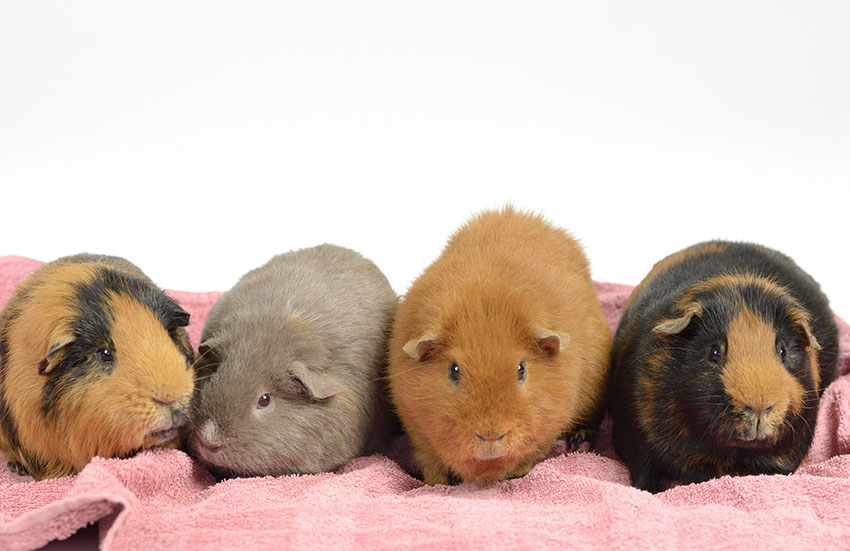 Guinea Pig Hutches Indoors Hutches Guinea Pigs Guide