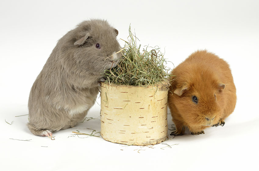 Guinea pigs enjoying a toy