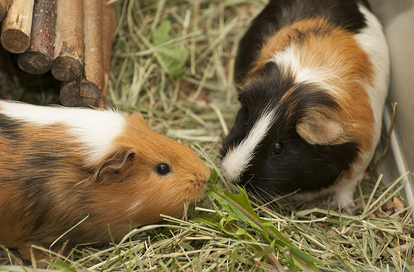 How Do I Tell If My Guinea Pig Is Lonely? | Frequently Asked