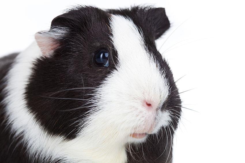 Guinea pigs eyes