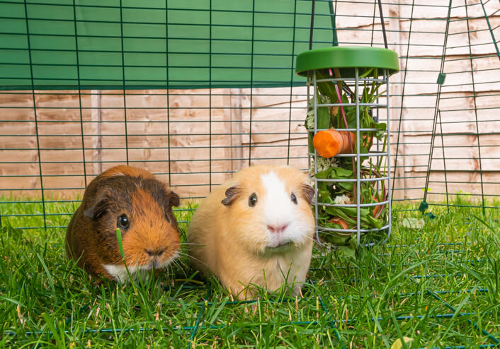 Two guinea pigs in an Eglu Go run with a Caddi Guinea Pig Feeder full of fresh food