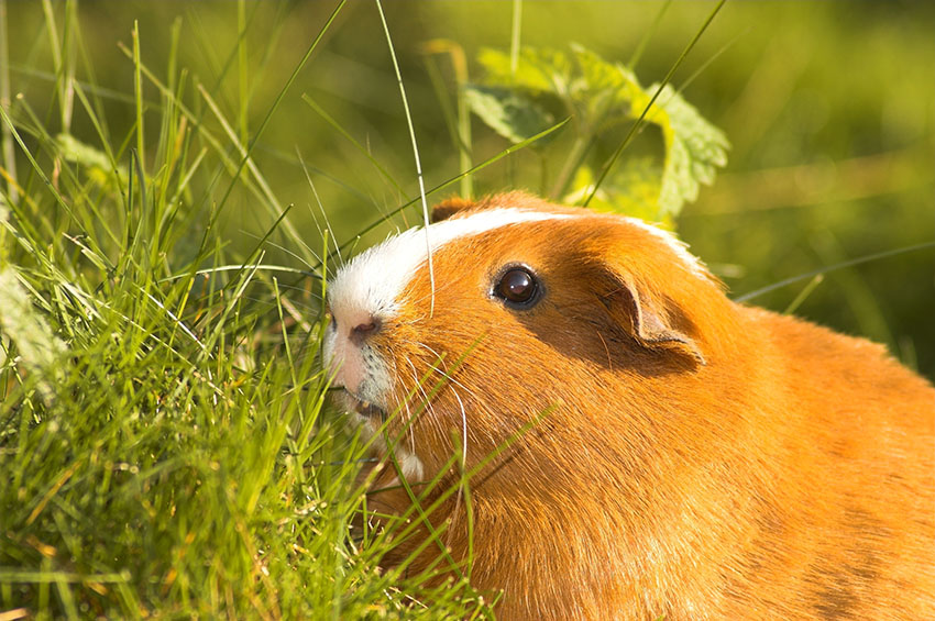 guinea pigs love grass