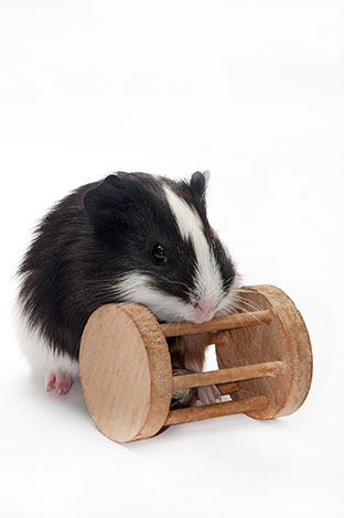 guinea pigs love playing