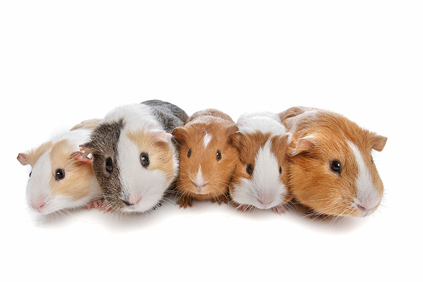 Guinea pigs ready to explore