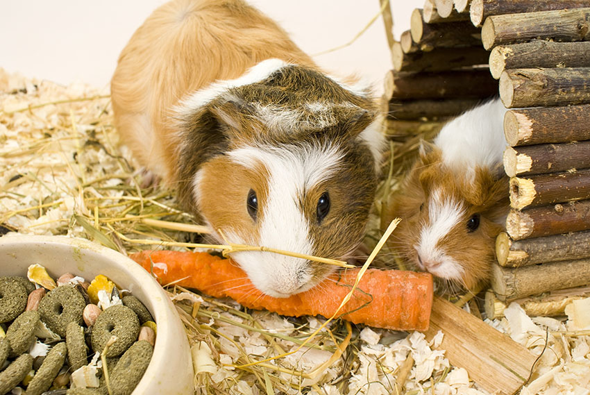 guinea pigs sharing a carrot