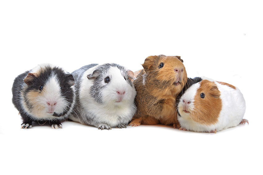 What Do Guinea Pig Noises Mean? | Frequently Asked Questions