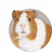 Guinea Pig Guide