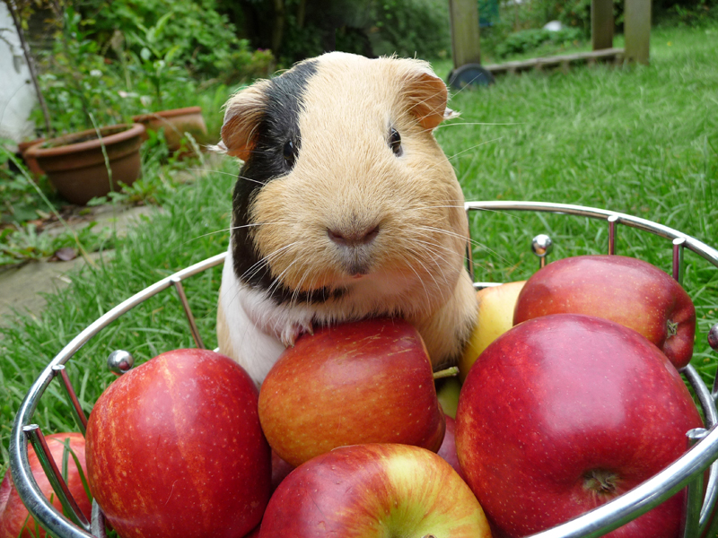 guinea pig vaccinations
