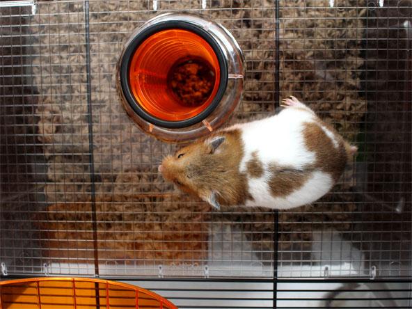 hamster-dans-la-cage-qute