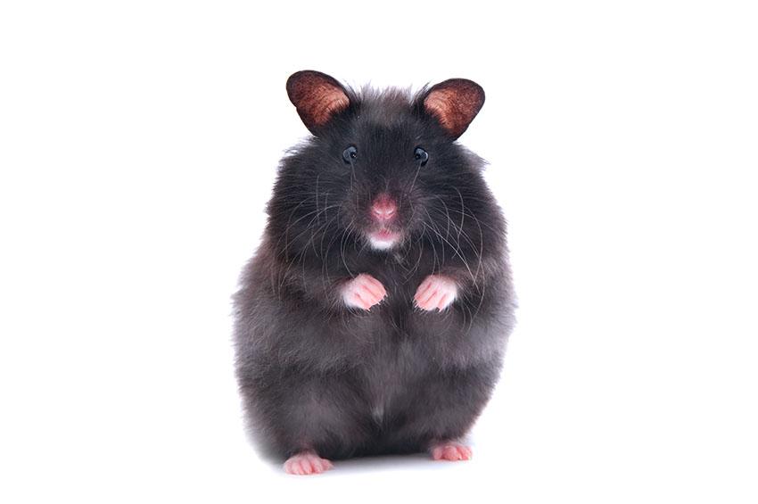 hamster ears are sensitive