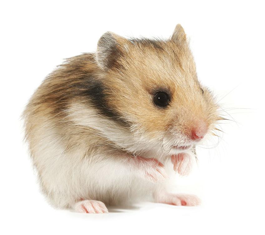 hamster health concerns