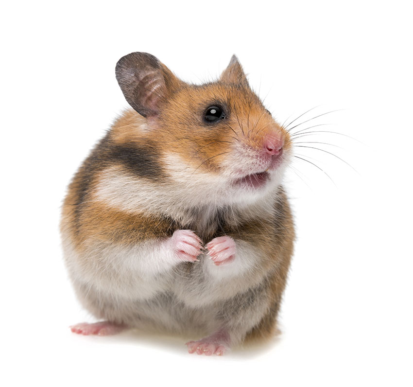 hamster health