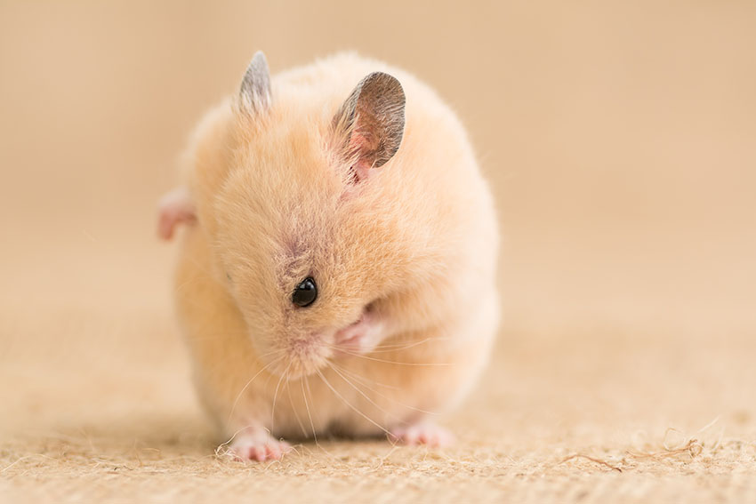 hamster hygiene