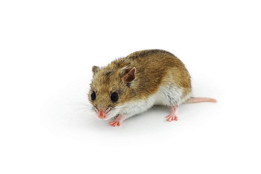 Hamsterkvalster är väldigt små, men kan orsaka mycket irritation