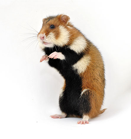 what do hamsters eat in the wild feeding your hamster hamsters