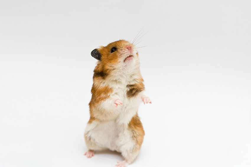 should I get a hamster