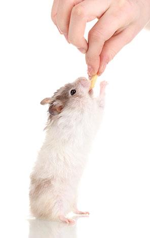 Hamster companionship