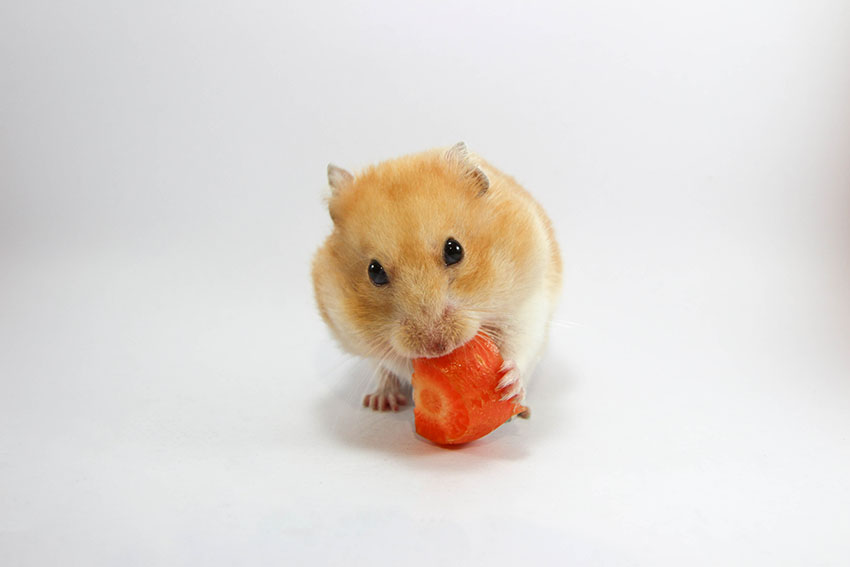 hamsters diet is important