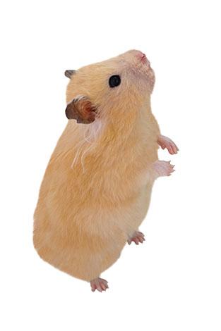 hamsters like sand baths