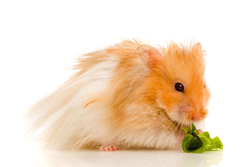 hamsters love fresh food