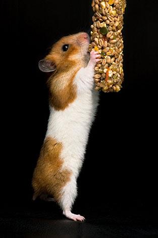 hamsters love treats